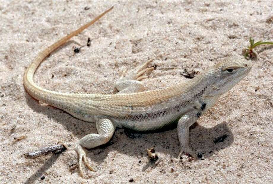 File-This undated file photo provided by the U.S. Fish and Wildlife Service shows a sand dune lizard in Chaves County, N.M. A contentious battle over the rare lizard found only in New Mexico and West Texas' oil and gas country has taken a surprising turn with federal officials deciding not to bestow endangered species protections on the small reptile. The decision was being announced Wednesday, June 13, 2012 in Washington, D.C., by U.S. Interior Secretary Ken Salazar and the head of the U.S. Fish and Wildlife Service. (AP Photo/U.S. Fish and Wildlife Service,File) / AP2008