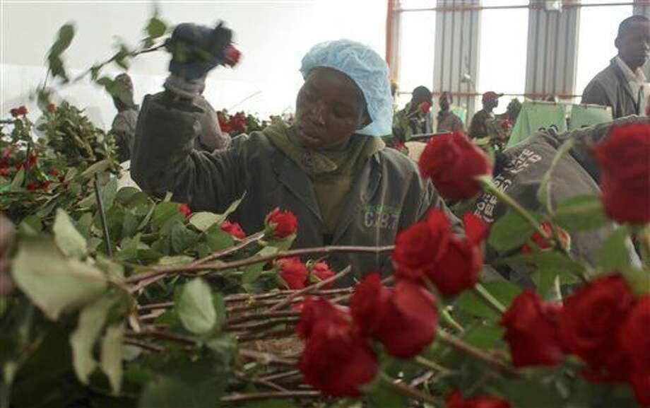 In this photo taken Monday, Feb. 1, 2016, a worker prepares roses for Valentine's Day, at the AAA Growers' farm in Nyahururu, four hours' drive north of the capital Nairobi, in Kenya. This Valentine's Day, there's a good chance your flowers came from Kenya as the cool climate and high altitude make it perfect for growing large, long-lasting roses - propelling it to become the fourth-largest supplier after the Netherlands, Ecuador and Colombia. (AP Photo/Ilya Gridneff) Photo: Ilya Gridneff
