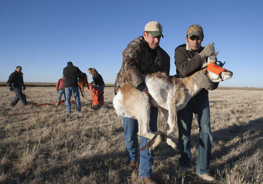 FILE - In this Feb. 23, 2011 file photo provided by the Texas Parks & Wildlife Department, pronghorn antelopes are prepared for release to their new home by Jason Wagner with Texas Parks & Wildlife, left, and Miguel Grageda, Sul Ross State University student, right, near Marfa, Texas. Researchers studying what has caused pronghorn in West Texas to die off will wait until next year to relocate more of the animals to the area because the ongoing drought complicates efforts to replenish the number of animals. Sul Ross State University in Alpine and the Texas Parks and Wildlife Department are sharing results of their efforts to determine what's causing the drop in numbers. (AP Photo/Texas Parks & Wildlife Department, Earl Nottingham, File) Photo: Earl Nottingham