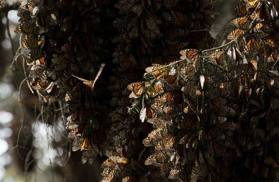 FILE - In this Jan. 4, 2015 file photo, a kaleidoscope of Monarch butterflies cling to tree branches, in the Piedra Herrada sanctuary, near Valle de Bravo, Mexico. Monarch butterflies have made a big comeback in their wintering grounds in Mexico, after suffering serious declines, investigators said Friday, Feb. 26, 2016. (AP Photo/Rebecca Blackwell, File) Photo: Rebecca Blackwell