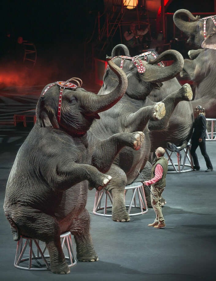 In this Jan. 3, 2015 photo provided by Feld Entertainment Inc., elephants perform at the Ringling Bros. and Barnum & Bailey Circus, at the Amalie Arena in Tampa, Fla. The Ringling Bros. and Barnum & Bailey Circus said it will phase out its iconic elephant acts by 2018. Photo: AP Photo/Feld Entertainment Inc., Gary Bogdon