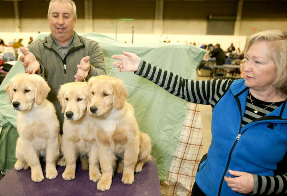Danny Miles of Midland and Jane Ann Allen of Dallas hold four-month-old golden retrievers (from left) Kinsey, Diesel and Cisco at the dog show Saturday at Horseshoe Arena. The three retrievers are all from the same litter and it is the first time Cisco has seen his siblings since they were eight months old. James Durbin/Reporter-Telegram Photo: JAMES DURBIN
