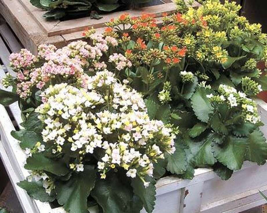 It won't be long before the freshness of the season, like these Kalanchoes, is springing up everywhere, including Flowerland! Go by and see what exciting colors and collections you can get to enliven your own home. Flowerland is at 413 Andrews Highway.