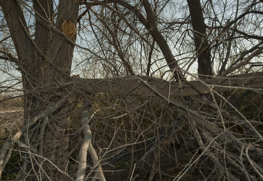 The recent ice storms that damaged trees around Midlanders homes also damaged trees in the I-20 Wildlife Preserve as seen Friday, 3-13-15. The Preserve is looking for extra volunteers to help clear the damaged trees and limbs. Tim Fischer\Reporter-Telegram Photo: Tim Fischer