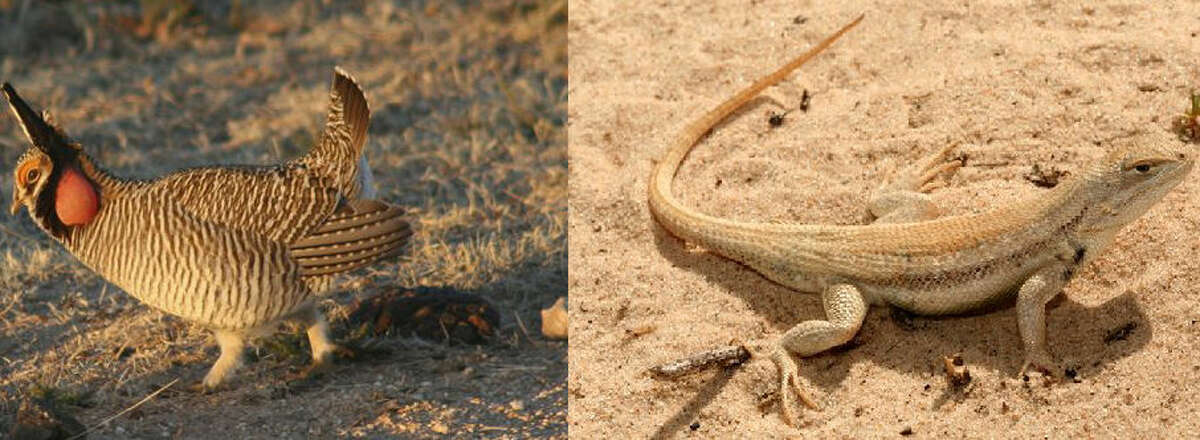 The energy industry fears the Endangered Species Act has been weaponized to halt oil and gas activity, citing efforts to list the dunes sagebrush lizard and lesser prairie chicken as examples of using the courts to halt economic activity.