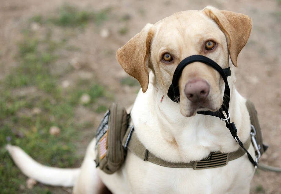 Buddy, who assists US Army veteran Jace Powell with effects of PTSD, in portrait Tuesday, March 17, 2015 at Ulmer Park. James Durbin/Reporter-Telegram Photo: James Durbin