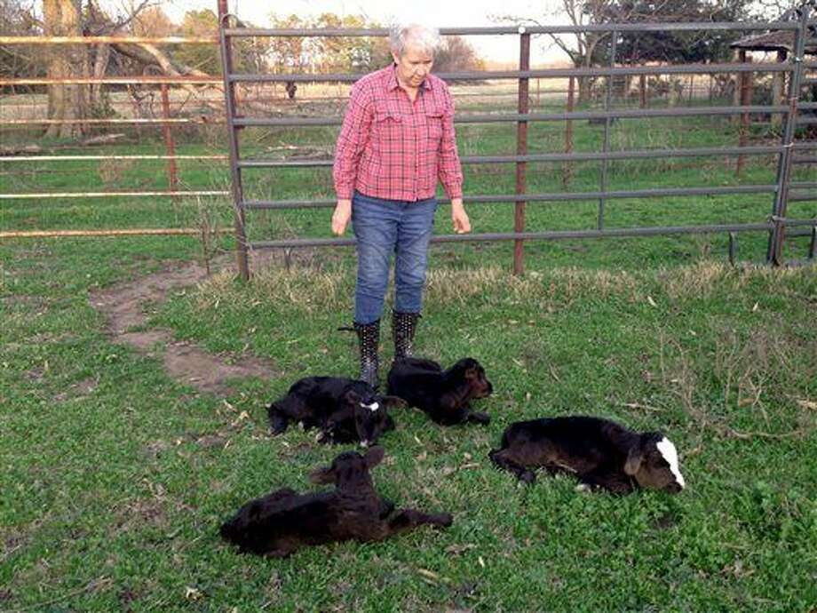 This photo provided by Jimmy Barling shows his wife, Dora Rumsey-Barling among four newborn calves on March 16, 2015, near DelKalb, Texas. A momma cow has apparently defied great odds and given birth to four calves. Barling said Monday, March 23, 2015, that DNA tests will be done to satisfy those who question the veracity of the calves' births from one mother, the odds of which were 1 in 11 million. (AP Photo/Jimmy Barling) Photo: Jimmy Barling