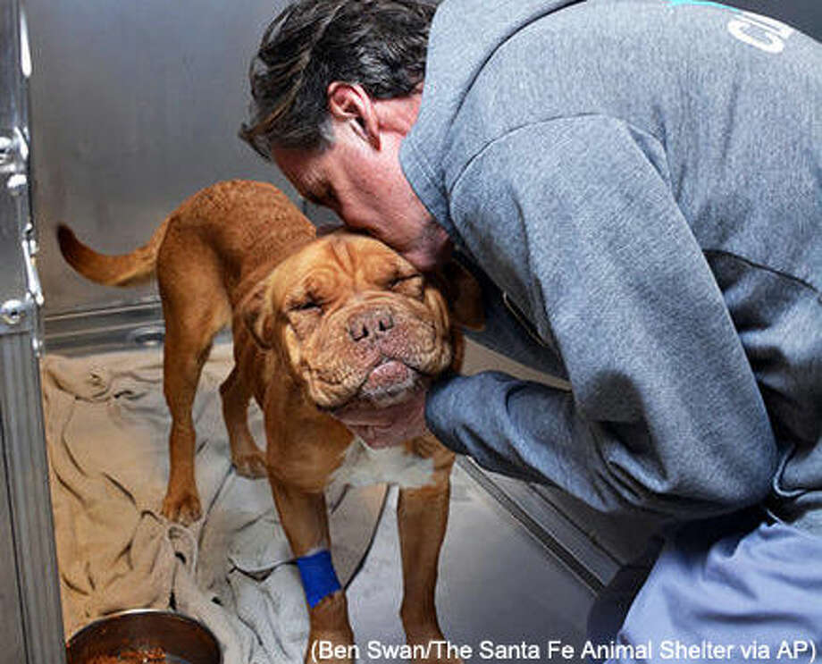 In this March 15, 2016 photo provided by the Santa Fe Animal Shelter, Dr. Rick Snook, a veterinarian with the Santa Fe Animal Shelter & Humane Society, gives Honey, a Dogue de Bordeaux, a hug after examining her at the shelter's Thaw Animal Hospital. The dog swallowed a 6-inch stuffed toy that was lodged in her intestine and was successfully removed following surgery on Monday.(Ben Swan/The Santa Fe Animal Shelter via AP)) Photo: Ben Swan