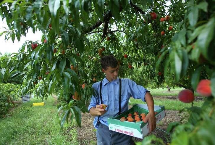Amos Horst picks Regal peaches at Studebaker Farm near Fredericksburg.