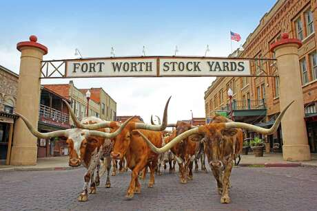The Fort Worth Herd of longhorns ambles through the brick streets of the Stockyards twice a day, a tribute to the city's cattle-trail past.