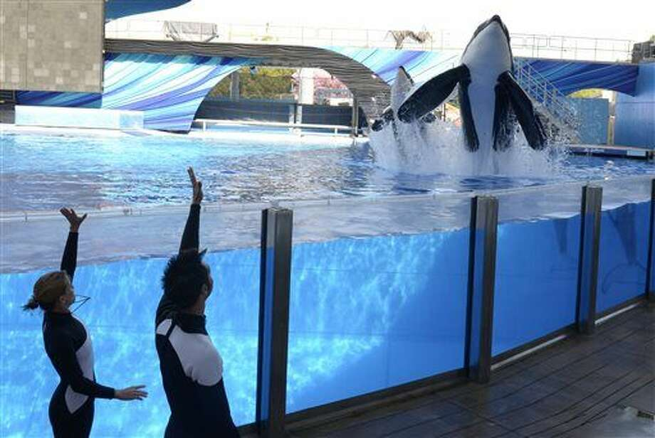 FILE - In a March 7, 2011, file photo, Kelly Flaherty Clark, left, director of animal training at SeaWorld Orlando, and trainer Joe Sanchez work with killer whales Tilikum, right, and Trua during a training session at the theme park's Shamu Stadium in Orlando, Fla. SeaWorld announced Thursday, March 17, 2016, it will immediately stop breeding killer whales, essentially phasing out the iconic orcas from its theme parks following years of controversy over keeping them in captivity. (AP Photo/Phelan M. Ebenhack, File) Photo: Phelan M. Ebenhack