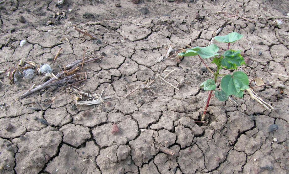 In this July 22, 2011 file photo, a lone cotton plant has sprouted through a piece of parched, cracked earth in a West Texas field near Lubbock, Texas, that was not irrigated. Photo: Betsy Blaney