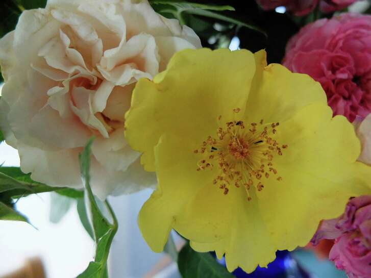 "The Pioneer series rose ""Belinda's Blush,"" left, is a creamy sport of ""Belinda's Dream."" The yellow ""Lemon Fizz"" is a new rose by the hybridizer Kordes."