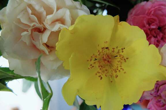 """The Pioneer series rose """"Belinda's Blush,"""" left, is a creamy sport of """"Belinda's Dream."""" The yellow """"Lemon Fizz"""" is a new rose by the hybridizer Kordes."""
