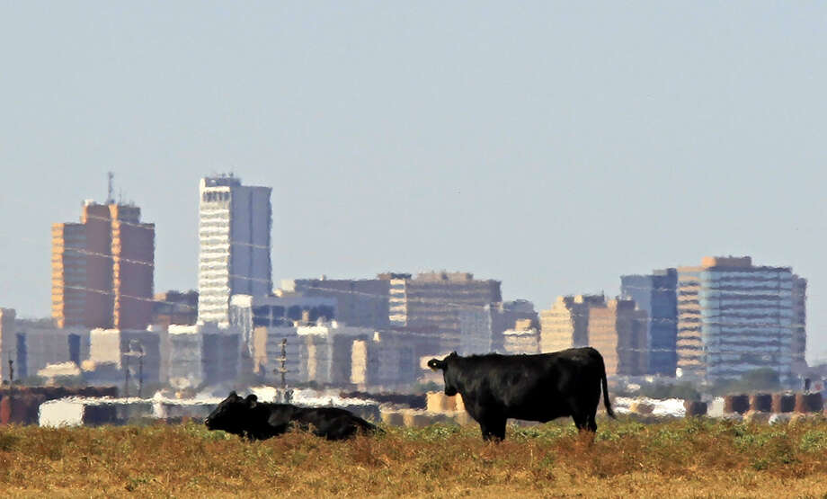 Cows graze in a field near E County Road 120 and Garden City Highway on Saturday, October 25, 2014. James Durbin/Reporter-Telegram Photo: James Durbin