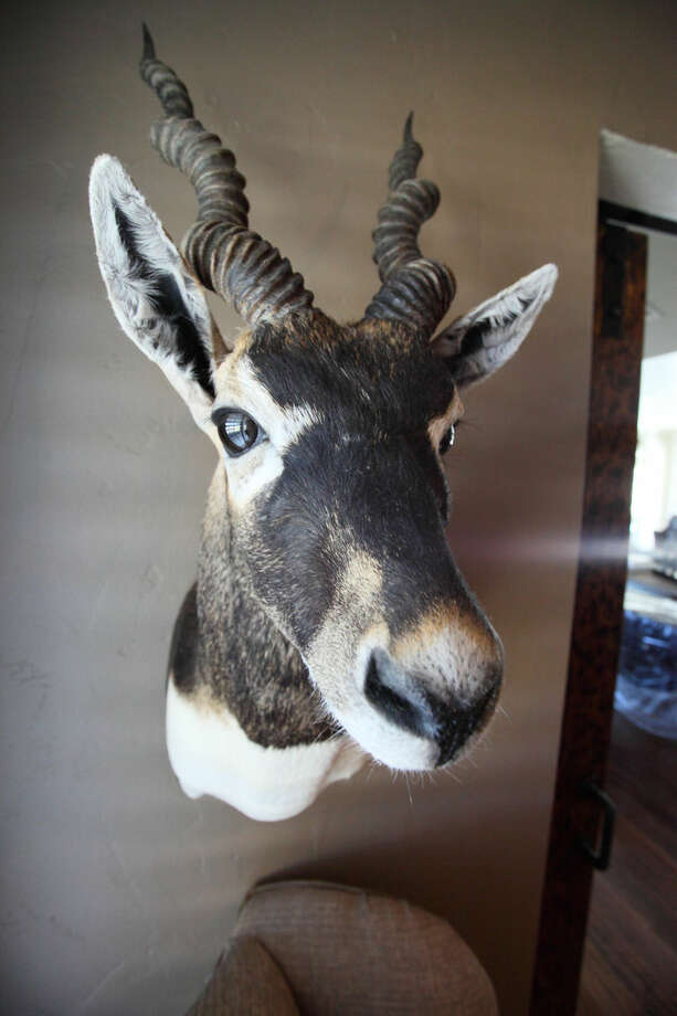 Collier and Jill Pennington's trophy room includes a blackbuck. Photo by Curtis Routh