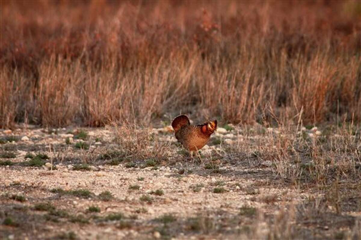 This 2012 photo provided by USDA Natural Resources Conservation Service shows a lesser prairie chicken in Yoakum County. (AP Photo/USDA-NRCS)