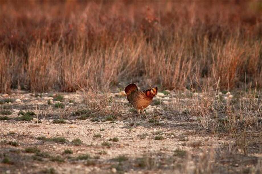 This 2012 photo provided by USDA Natural Resources Conservation Service shows a lesser prairie chicken in Yoakum County. (AP Photo/USDA-NRCS) Photo: HOPD / USDA-NRCS