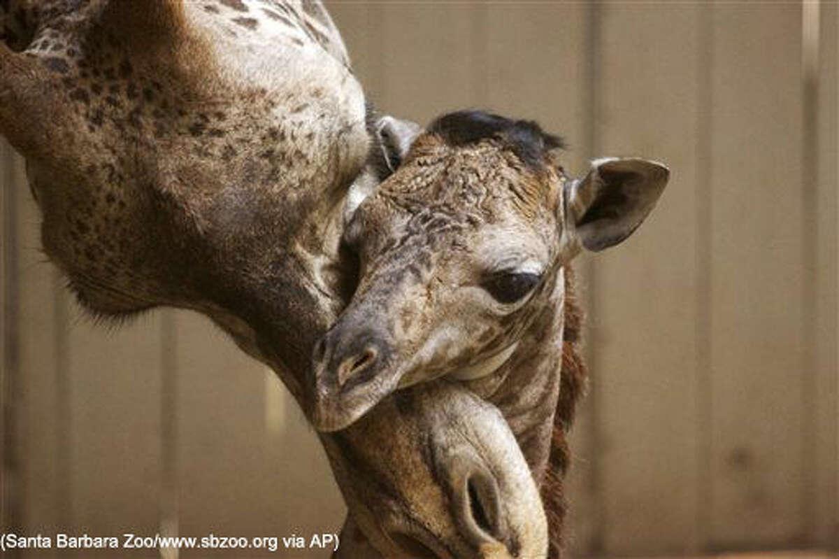This Monday, March 28, 2016 photo provided by the Santa Barbara Zoo shows a newborn baby giraffe and its mother, Audrey, in Santa Barbara, Calif. The unnamed Masai giraffe was born Saturday, March 26. (Santa Barbara Zoo/www.sbzoo.org via AP) MANDATORY CREDIT