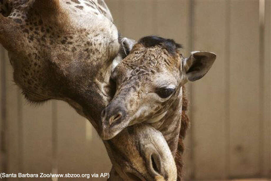 This Monday, March 28, 2016 photo provided by the Santa Barbara Zoo shows a newborn baby giraffe and its mother, Audrey, in Santa Barbara, Calif. The unnamed Masai giraffe was born Saturday, March 26. (Santa Barbara Zoo/www.sbzoo.org via AP) MANDATORY CREDIT Photo: HONS