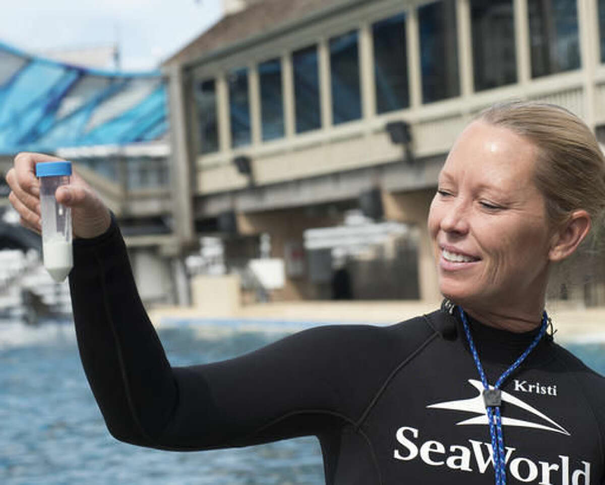 In this undated photo provided by SeaWorld, San Diego, whale trainer Kristi Burtis holds a milk sample from Kalia, an orca whale. There's one last orca birth to come at SeaWorld, and it probably will be the last chance for a research biologist to study up close how female killer whales pass toxins to their calves through their milk. SeaWorld's decision to end its orca breeding and to phase out by 2019 its theatrical killer whale performances, the foundation of its brand, followed years of public protests. (Mike Aguilera/SeaWorld San Diego via AP)