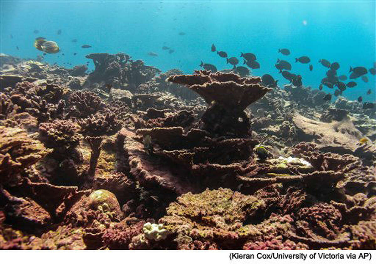This photo provided by the University of Victoria, taken in April 2016, shows much of the coral is dead, overgrown with algae at the Pacific island of Kiritimati. The coral on the sea floor around Kiritimati looked like a boneyard in November 2015. Stark, white and lifeless. But there was still some hope. In April, color returned with fuzzy reds and browns, but that's not good news. Algae has overtaken the lifeless coral on what had been some of the most pristine coral reefs on the planet. (Danielle Claar/University of Victoria via AP)