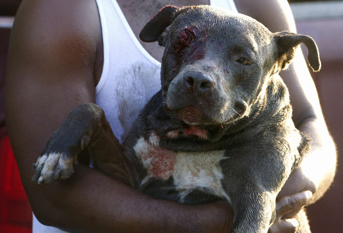 Eugene Samuel carries his pit bull after it was shot by an officer in the right eye Monday, Aug. 6, 2012, in Houston. The incident began when an officer was dispatched to a nearby home after a woman called 911 to say three dogs were loose outside her home and she couldn't leave her house, police said. She said the dogs were owned by the resident of a nearby home. When the officer went to the home, police said, one of the dogs reportedly charged him and the officer opened fire. (Cody Duty / Houston Chronicle)