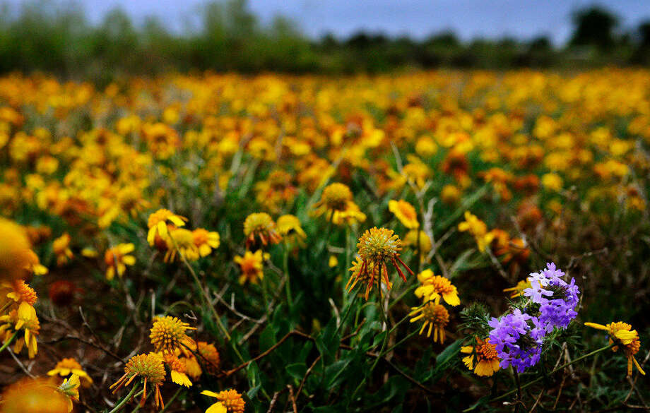 A pair of Prairie Verbenas grow in a field of Huisache Daisies near the Sibley Nature Center on Tuesday, April 12, 2016. James Durbin/Reporter-Tele­gram