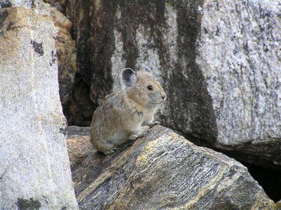 This handout photo, taken Aug. 17, 2005, provided by the US Geological Survey/Princeton University shows an American pika. A new study in the journal Science projects that one in 13 species will go extinct because of global warming. One species that is in trouble because it has few places to escape the heat is the American pika, pictured here in this 2005 handout photo, said study author Mark Urban of the University of Connecticut. (Shana S. Weber/USGS, Princeton University via AP) Photo: Shana S. Weber