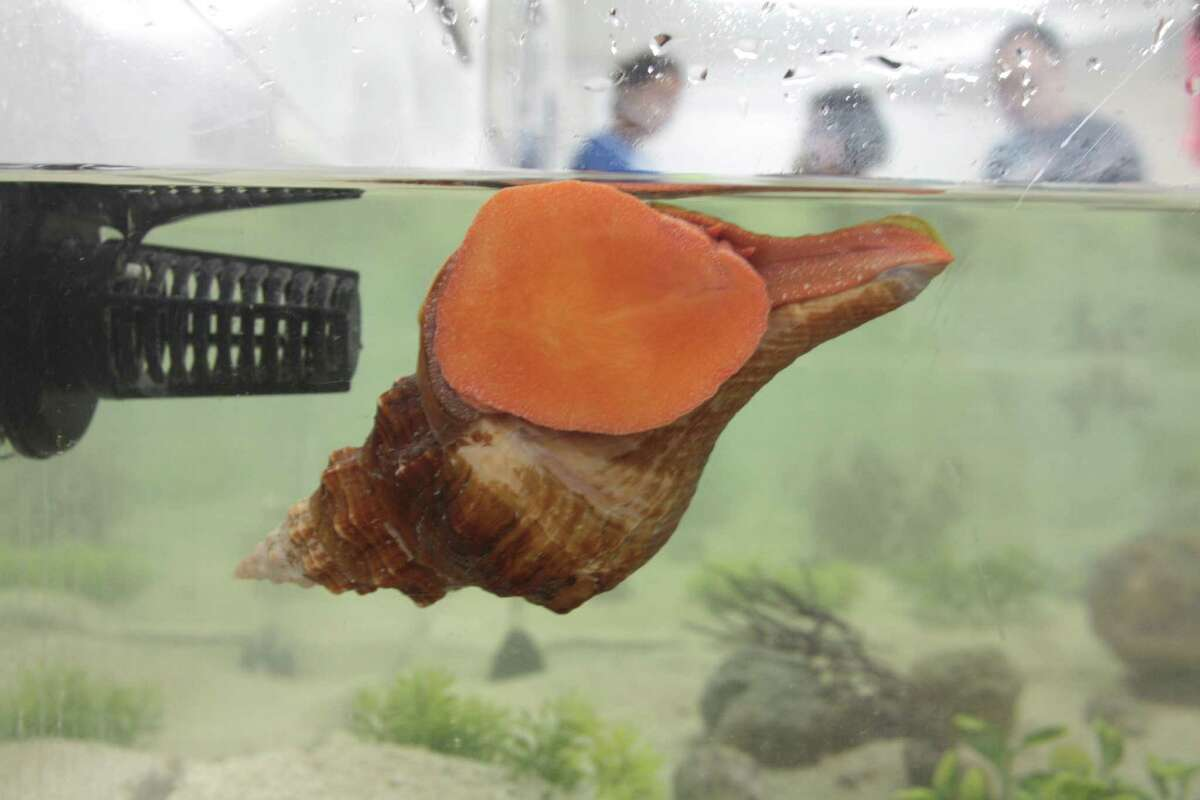 A horse conch clings to a tank wall at the Bailey-Matthews National Shell Museum.