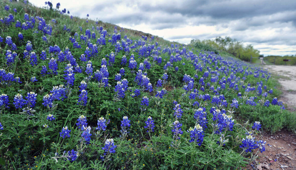 Bluebonnets cover a hillside along Highway 79 near Wichita Falls, Texas. The Spring wildflower season has been good for the North Texas area, with higher concentrations of bluebonnets in the hill country of South Central Texas, Monday, April 13, 2015. (Torin Halsey/Wichita Falls Times Record News via AP)