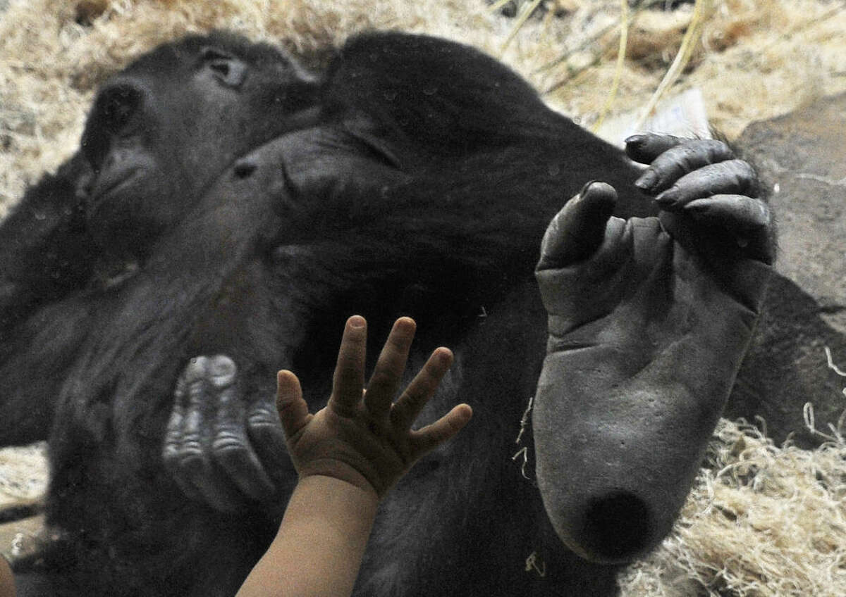 A young Houston Zoo visitor puts his hand against the glass beside the foot of Sufi, a 13-year-old western lowland gorilla at her new home Thursday in Houston. Sufi and her parents Zuri and Holli moved to their new 4,000-square-foot state-of-the-art home from New York's Bronx Zoo. The exhibit opens to the public Friday.
