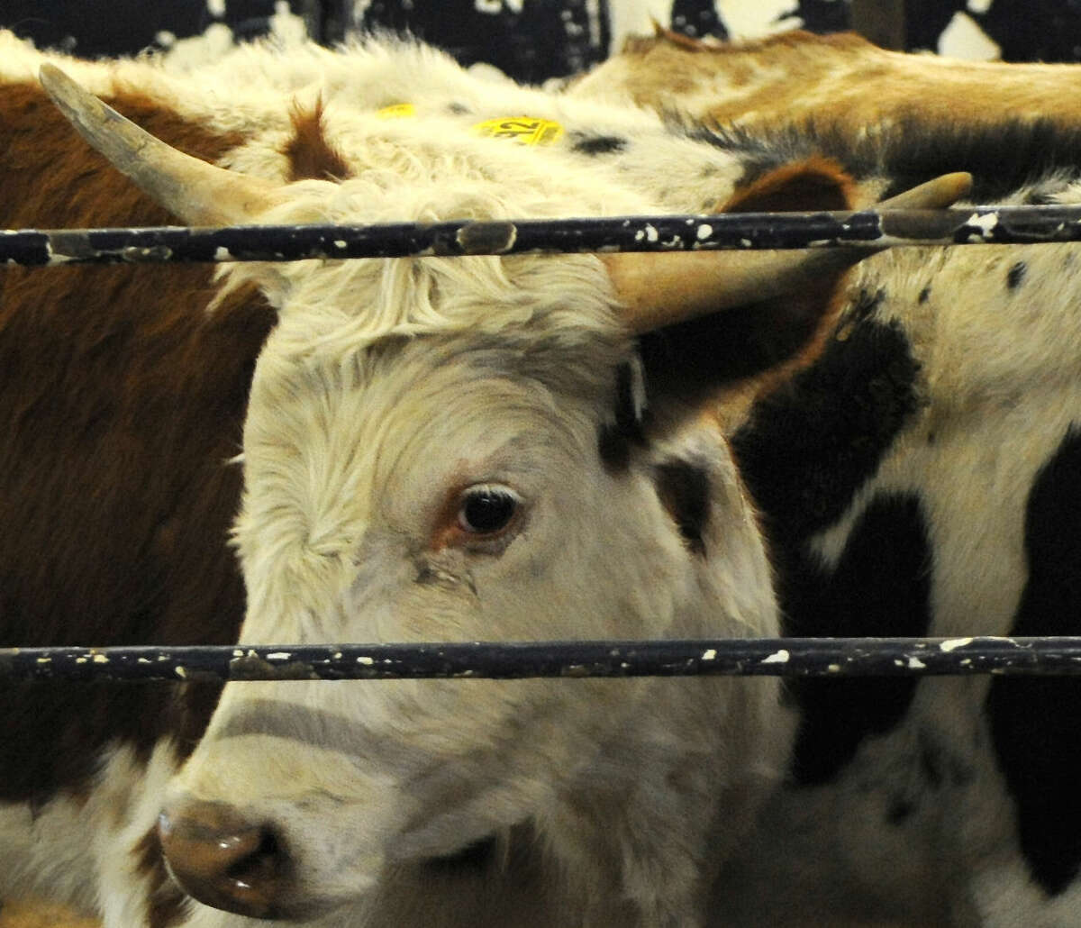 With the abundant rain, some Texas ranchers are considering restocking their herds.