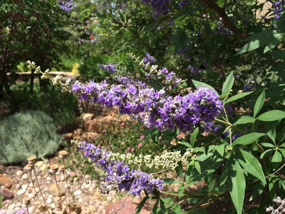 Vitex agus-castus is also known as the chaste tree and the Texas lilac.