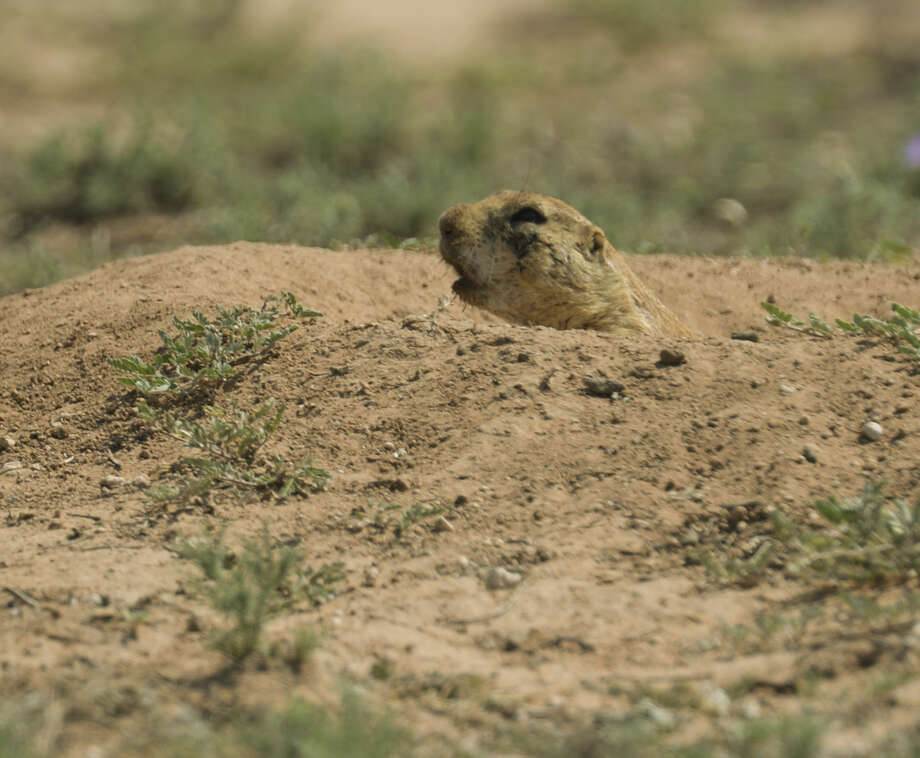 The City of Midland has plans to plug the burrows of hundreds of prairie dogs in the field at Lamesa Road and Loop 250, Monday, 6-29-15, to allow parking for the July 4th festivities in Hogan Park. Tim Fischer\Reporter-Telegram Photo: Tim Fischer