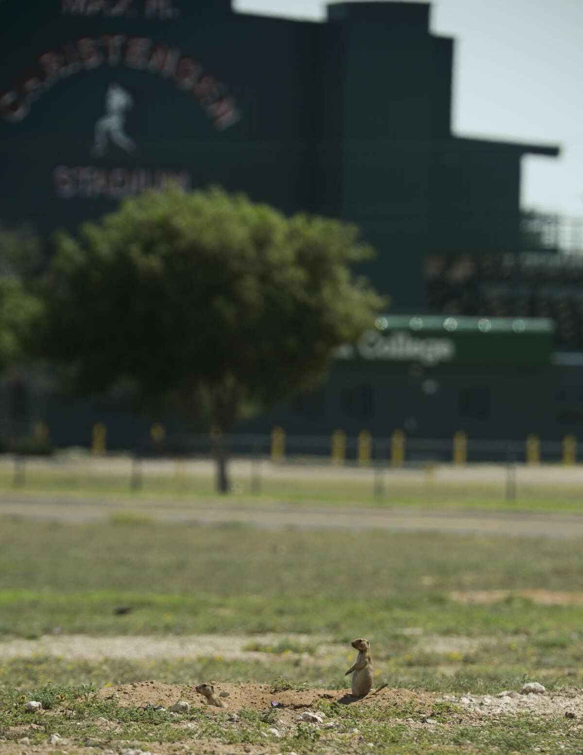 The City of Midland has plans to plug the burrows of hundreds of prairie dogs in the field at Lamesa Road and Loop 250, Monday, 6-29-15, to allow parking for the July 4th festivities in Hogan Park. Tim Fischer\Reporter-Telegram