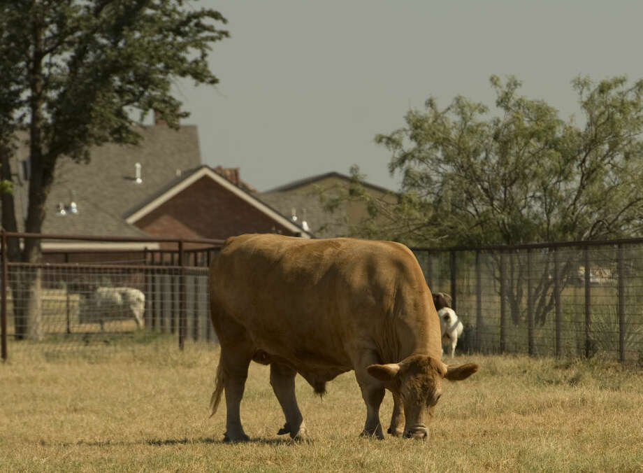 Homeowners living in the Greenbelt are allowed to keep livestock on their land inside city limits seen Saturday 7-25-15. Tim Fischer\Reporter-Telegram Photo: Tim Fischer