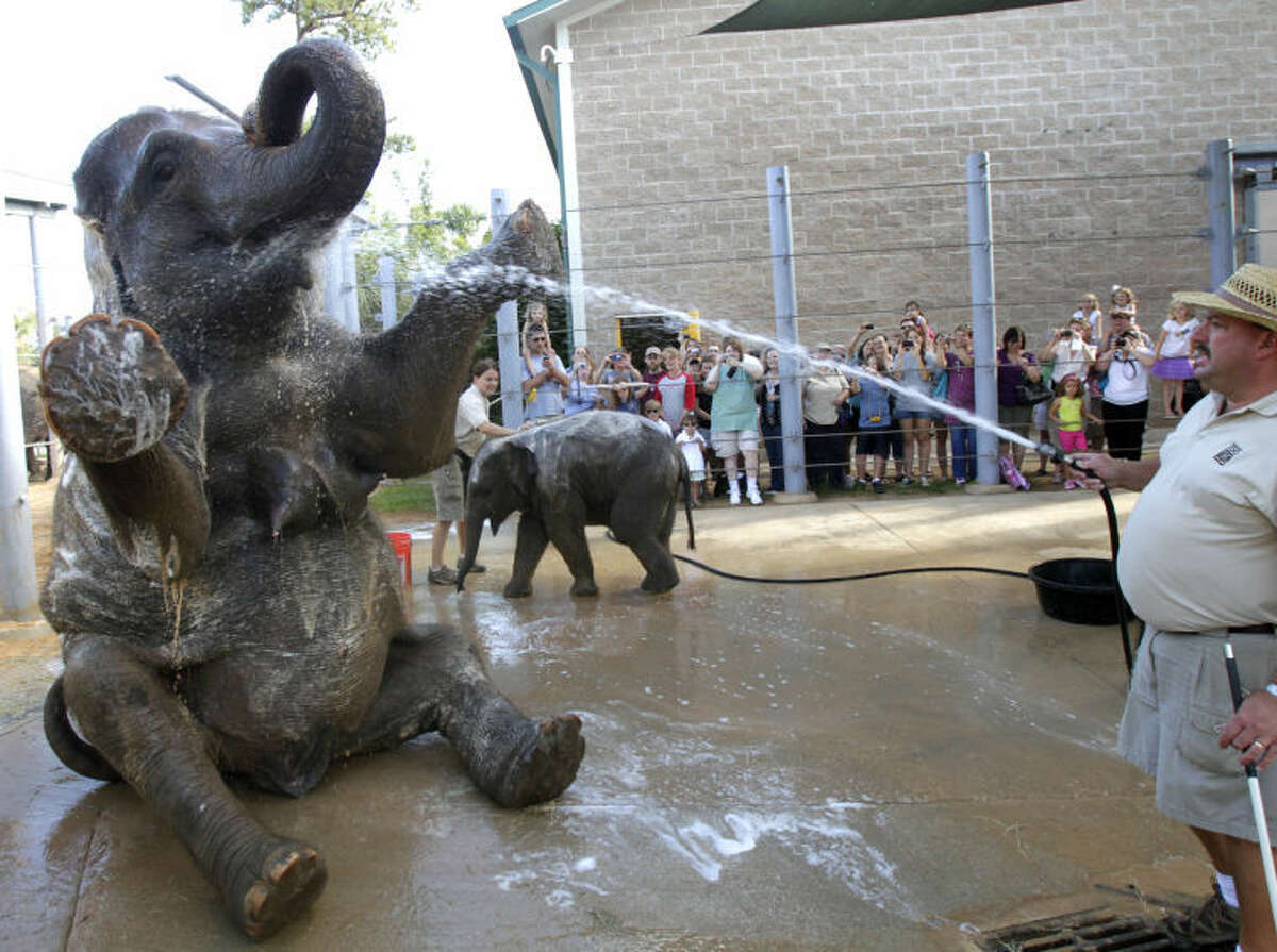 """Elephant Open House guests take pictures while curator of large animals Daryl Hoffman (right) sprays Tess with water as elephant manager Martina Stevens baths Tupelo at the Houston Zoo Saturday, June 18, 2011, in Houston. After the bath guests were allowed to touch Tess and Tupelo along with have their picture made with them. They were also allowed to explore the the state-of-the-art elephant barn at the McNair Asian Elephant Habitat. Each elephant """"bedroom"""" in the barn highlighted a different aspect of elephant care. ( Cody Duty / Houston Chronicle )"""