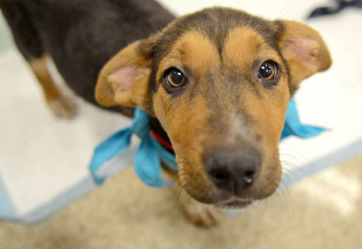 Dustbowl Animal Rescue adoption drive at the PetSmart in Odessa. James Durbin/Reporter-Telegram