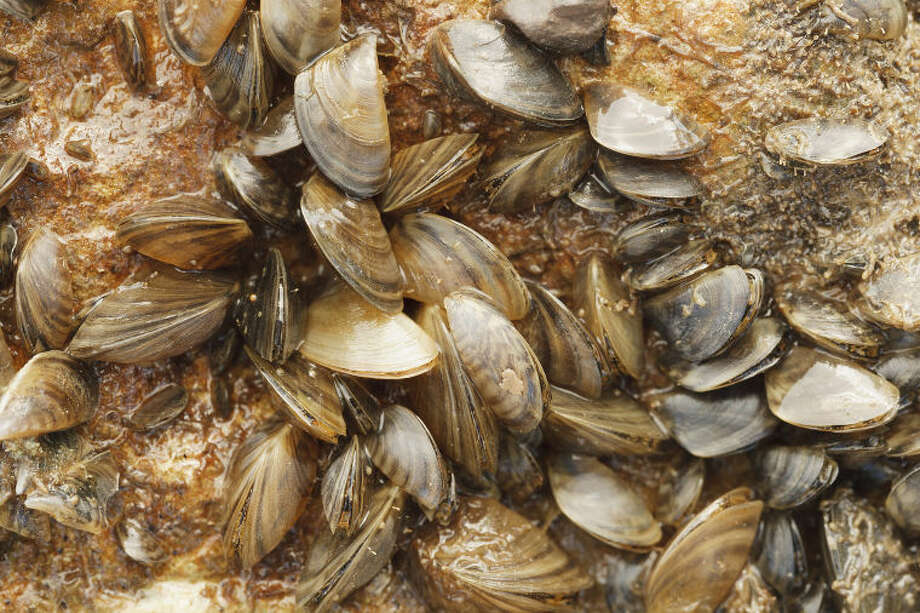 Zebra mussels on Lake Texoma and control efforts Photo: Earl Nottingham