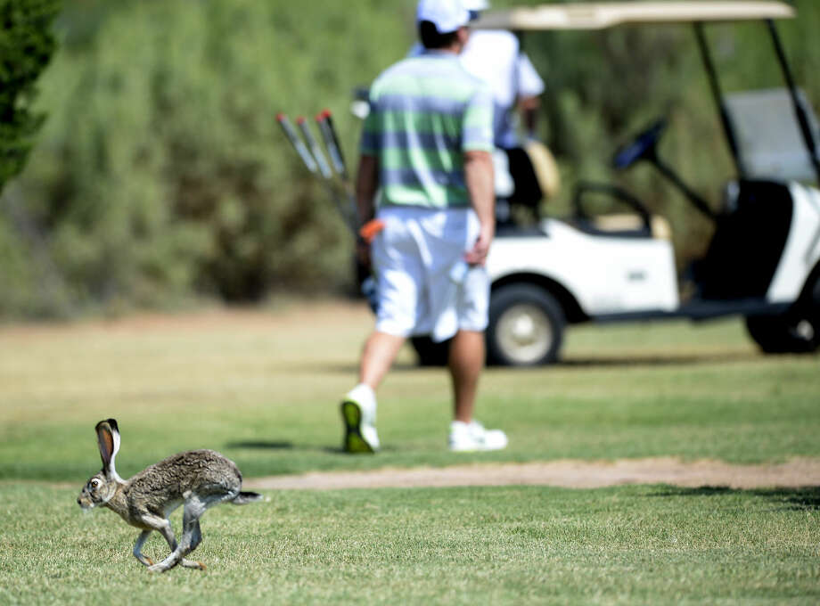 A jackrabbit runs across the fairway during the Star Electric Men's City Championship on Saturday, August 1, 2015 at Hogan Park Golf Course. James Durbin/Reporter-Telegram Photo: James Durbin