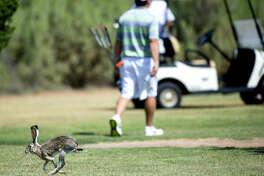 A jackrabbit runs across the fairway during the Star Electric Men's City Championship on Saturday, August 1, 2015 at Hogan Park Golf Course. James Durbin/Reporter-Telegram