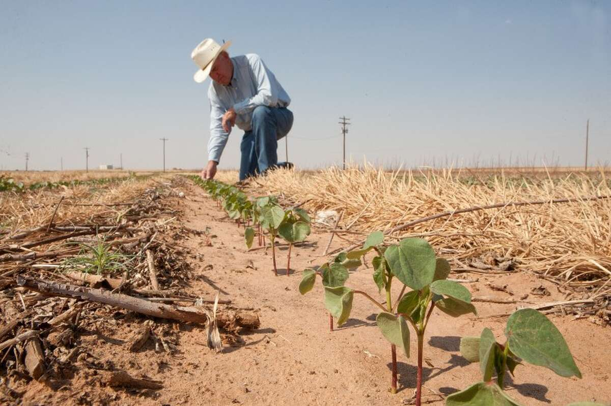 Roy Graham checks the moisture in the soil and the cotton stocks in a irrigated section of his land in Greenwood during this Reporter-Telegram file photo