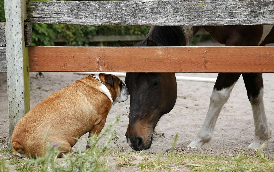 Chunk the bulldog and Pico the horse sniff at each other from either side of a corral fence at the Golden Gate Dairy Stables in Muir Beach. Photo: Connor Radnovich, The Chronicle
