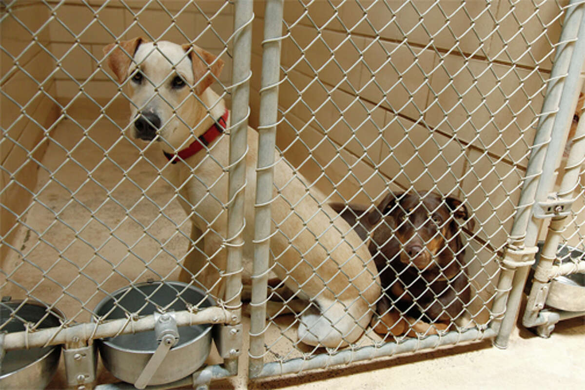 These dogs sit together at the City of Midland Animal Services center Wednesday with collars on meaning they could be someones pet that had to give up their dog to the shelter because their move to Midland may not have allowed the owners to keep their pets.