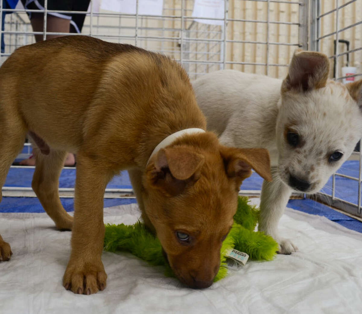The Midland Animal Shelter Adoptables had puppies needing adoption Aug. 2, outside of Tractor Supply. Tim Fischer\Reporter-Telegram