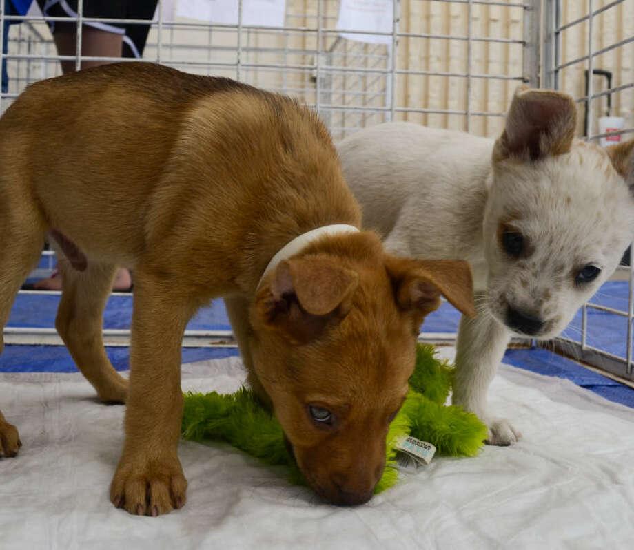 The Midland Animal Shelter Adoptables had puppies needing adoption Aug. 2, outside of Tractor Supply. Tim Fischer\Reporter-Telegram Photo: Tim Fischer