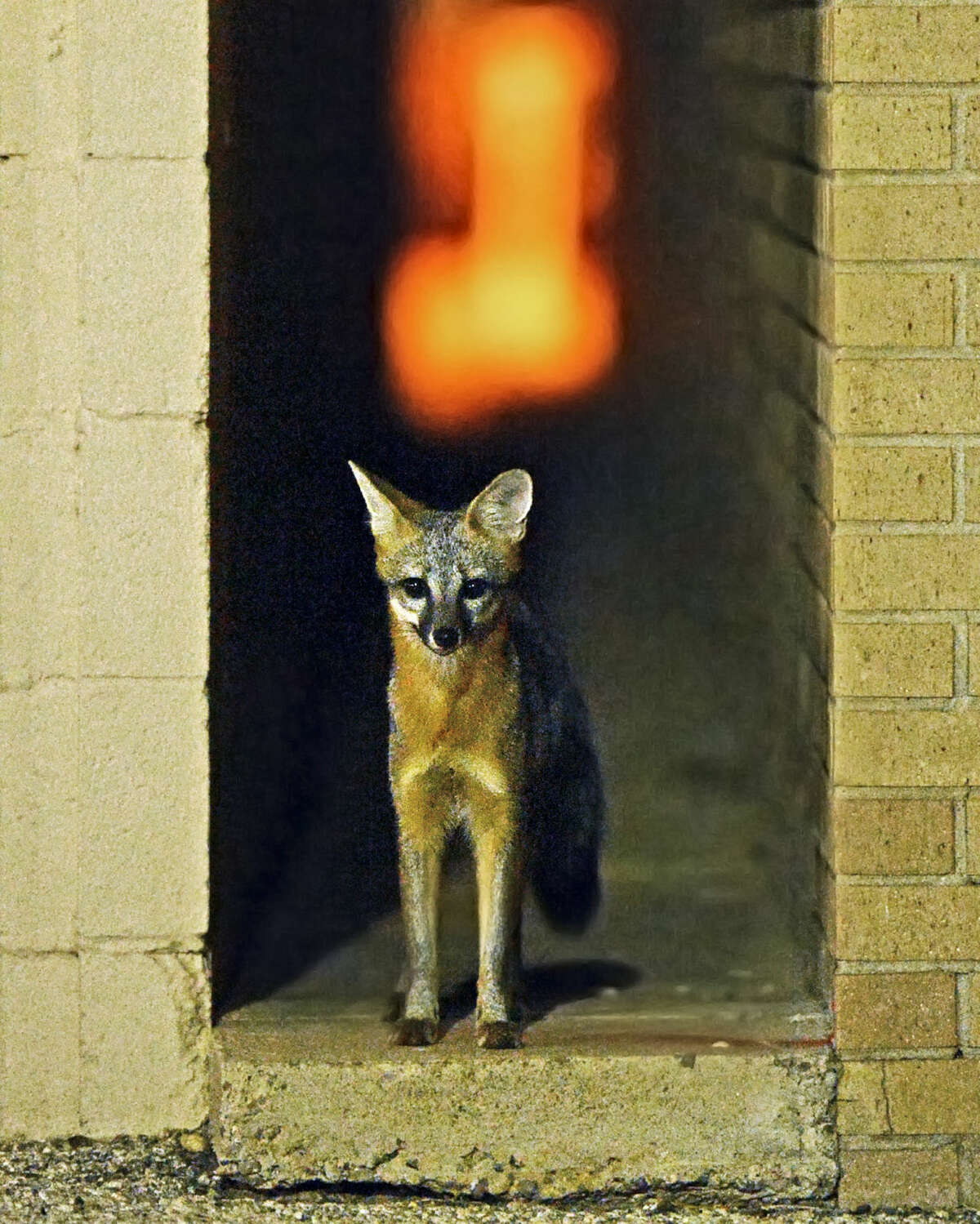 A fox peeks out of an alley separating the Navigator Oil and Minerals and the RK Petroleum buildings located on Main Street near downtown Midland the night of Tuesday, Oct. 6, 2015. James Durbin/Reporter-Telegram