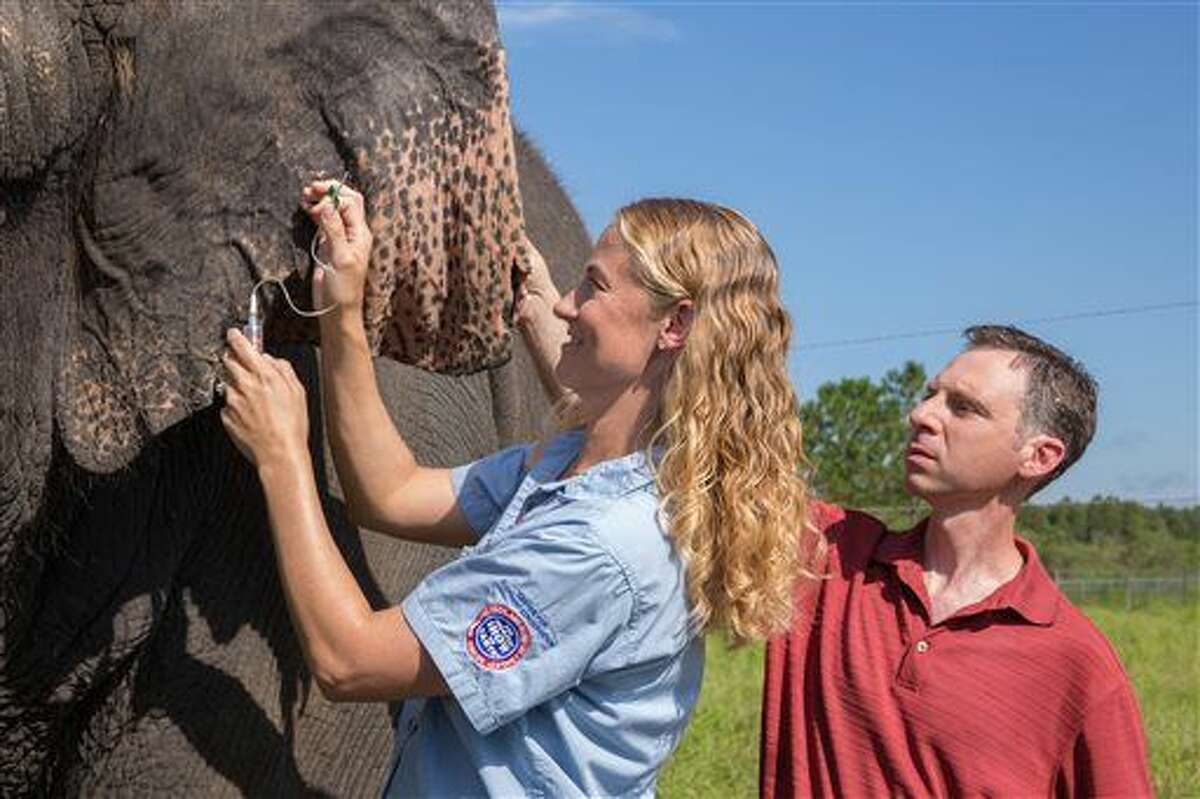 This Aug. 26, 2014 photo provided by Feld Entertainment, Ringling Bros. and Barnum & Bailey Center for Elephant Conservation Director of Veterinary Care Dr. Ashley Settles and Dr. Joshua Schiffman, a pediatric cancer specialist at the University of Utah, take a blood sample from one of the elephants at the center in central Florida. Cancer is much less common in elephants than in humans, even though the big beasts' bodies have many more cells. That's a paradox known among scientists, and now researchers think they may have an explanation. In results published Thursday, Oct. 8, 2015 in the Journal of the American Medical Association, compared with other species, elephants' cells contain many more copies of a major cancer-suppressing gene that helps damaged cells repair themselves or self-destruct when exposed to cancer-causing substances. (Gary Bogdon/Feld Entertainment via AP)