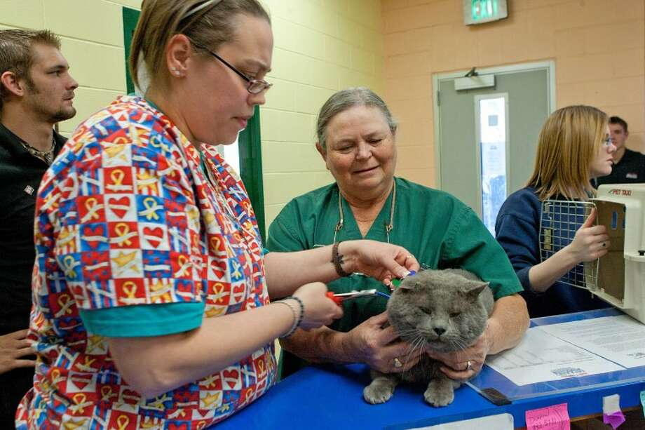 "Mary Robbins attaches a city licenses to ""Beacher's"" collar after Dr. Annette Jensen injected a micro chip and vaccinated the Russian Blue cat for rabies, Thursday during the ""Christmas Shot Clinic"" at Midland Animal Shelter. Cindeka Nealy/Reporter-Telegram Photo: Cindeka Nealy"